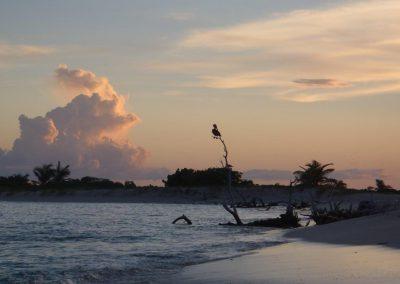 Sandy Island pelican
